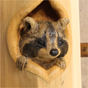 Raccoon on timber post
